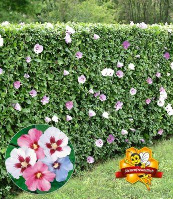 Winterharte Hibiskus-Hecke, 10 Pflanzen, Hibiscus Syriacus