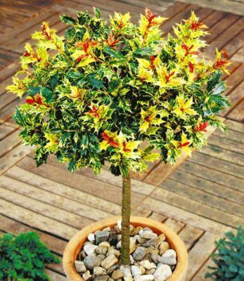 Immergrün Osmanthus-Stämmchen Duftblüte, 1 Pflanze