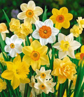 100 Tage-Narzissen-Mix, Osterglocken, 35 Zwiebeln Narcissus