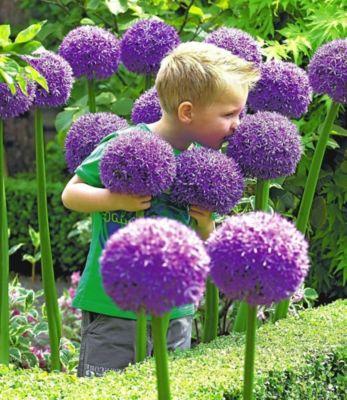Zierlauch Allium &#39Globemaster&#39, 1 Zwiebeln