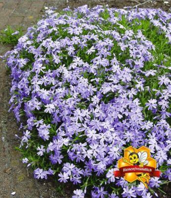 blauer-teppich-phlox-3-pflanzen