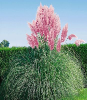 Rosa Pampasgras, 1 Pflanze Cortaderia