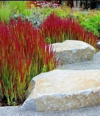 Ziergras &acuteRed Baron´ Japanisches Blutgras Flammengras, 3 Pflanzen Imperata cylindrica