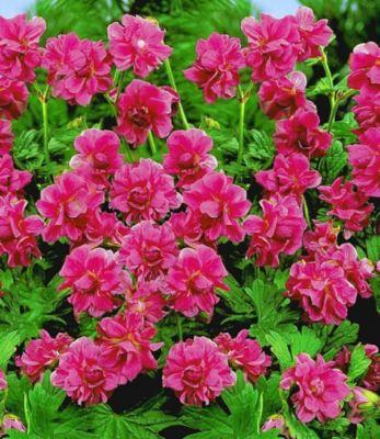Winterharte Geranien ´Rote Burcs Double®´, 2 Knollen, Geranium himalayense