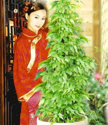Jiaogulan,3 Pflanzen Chinas Pflanze der Unsterblichkeit