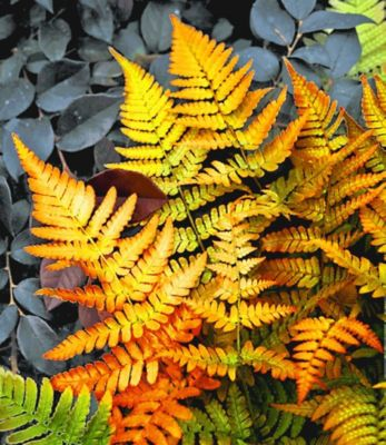 Winterharter Schmuck-Farn ´Golden Brilliant´, 1 Pflanze Dryopteris
