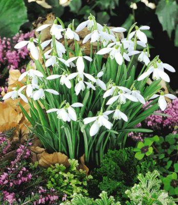 Schneeglöckchen, 50 Zwiebeln Galanthus nivalis