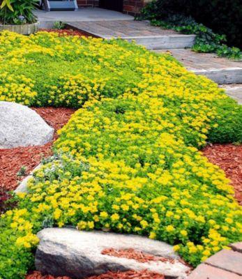 Winterhart Kamtschatka-Fetthenne 3 Pflanzen Sedum kamtschaticum Fettblatt