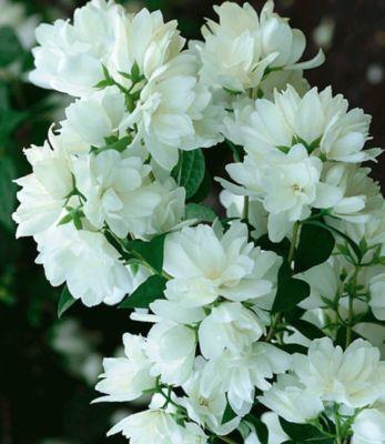Baldur Garten Bauern-Jasmin, 1 Pflanze, Philadelphus coronarius