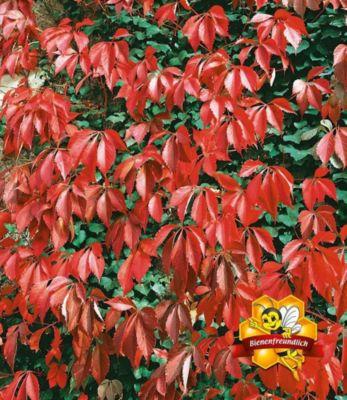 Wilder Wein &#39Quinquefolia&#39, 1 Pflanze