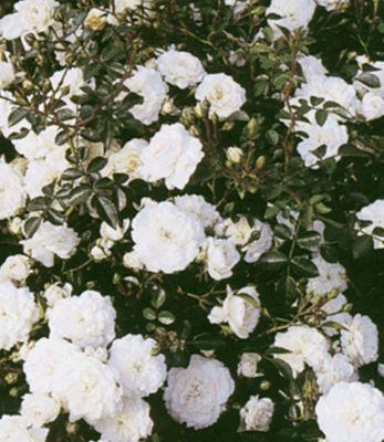 Rosen ´Sea Foam´, 1 Pflanze Bodende...