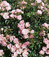 Rosen ´The Fairy´, 1 Pflanze Bodend...