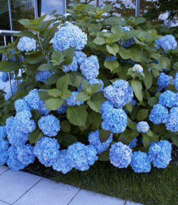 Baldur Garten Bauern-Hortensien ´Générale Vicomtesse de Vibraye®´, Hydrangea macrophylla, 1 Pflanze