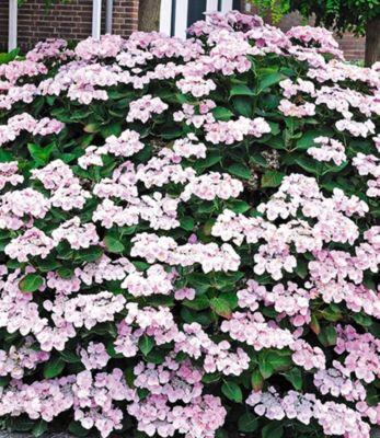Baldur Garten Bauernhortensie Mariesi 1 Pflanze Freilandhortensie winterhart