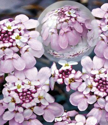 winterharter-bodendecker-iberis-schleifenblume-pink-ice-2-pflanzen