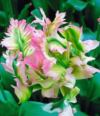 Papageien-Tulpen ´Green Wave´, 5 Zw...