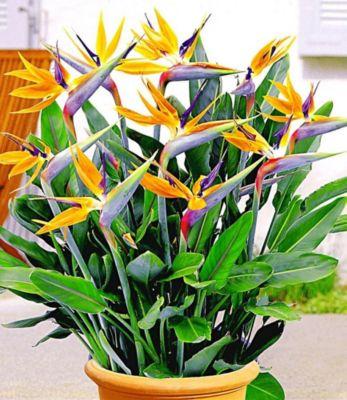 Paradiesvogel-Blume Strelitzie,1 Pflanze Streli...