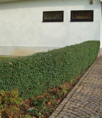 Schwarzgrüner Liguster 'Atrovirens', 1 Pflanze Ligustrum vulgare Atrovirens Heckenpflanze