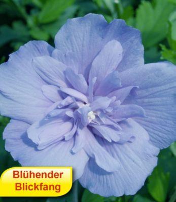 Winterhart Gefüllter Hibiskus Chiffon blau 1 Pflanze Hibiscus syriacus
