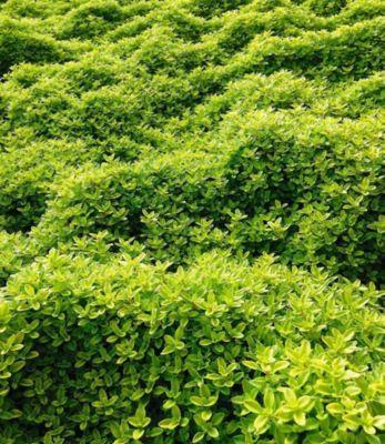 Zitronenthymian; 3 Pflanzen Thymus citriodorus aureus