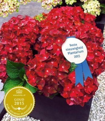 Freiland-Hortensie ´´Ruby Tuesday´´ 12 cm-Topf 1 Pflanze Hydrangea macrophylla