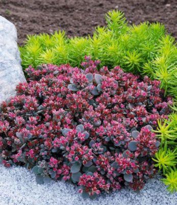 Sedum Sun Sparkler® ´´Sedoro Blue Elf´´,2 Pflanzen