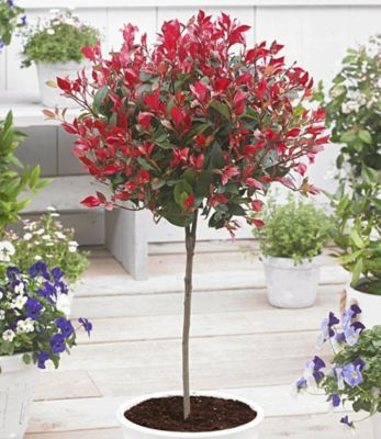 Immergrünes Photinia-Stämmchen ´´Little Red Rob...