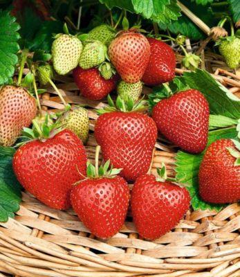 immertragende-erdbeere-buddy-3-pflanzen