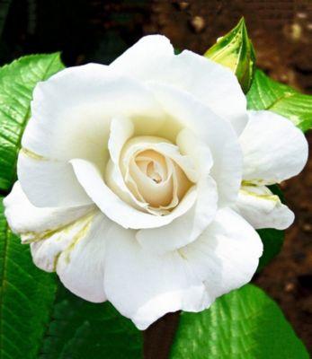 Edelrose ´´Roger Whittaker®´´,1 Pflanze