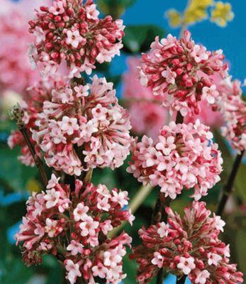 winter-schneeball-charles-lamont-1-pflanze-viburnum-bodnantense