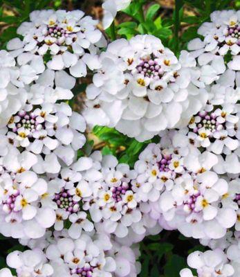 winterharter-bodendecker-iberis-schleifenblume-masterpiece-3-pflanzen