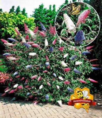 Baldur Garten Sommerflieder ´Papillion Tricolor´ Buddleia, 1 Pflanze Buddleja davidii