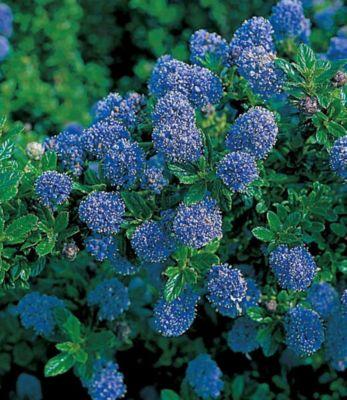 Immergrüne Säckelblume Blauer Ceanothus &#39Blu...