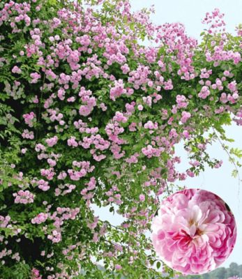 Rambler-Rosen ´Paul´s Himalayan Mus...