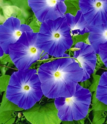 Trichterwinde ´Blue Hardy´, 1 Pflanze Ipomoea indica