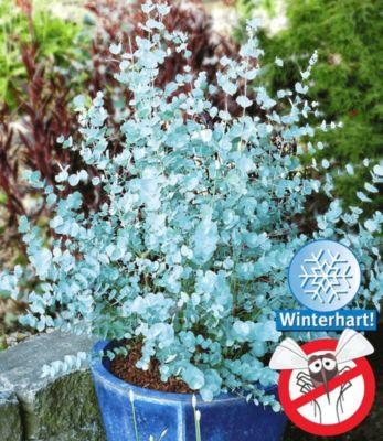winterharter-eukalyptus-azura-1-pflanze-eucalyptus-gunni