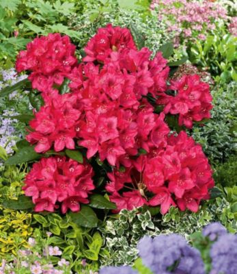 Rhododendron rot Alpenrose, 1 Pflanze