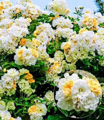 Rambler-Rose ´´Christine Helene´´ 1 Pflanze