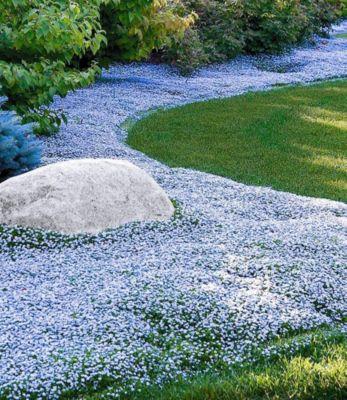 Winterharter Bodendecker Isotoma 'Blue Foot', 3 Pflanzen