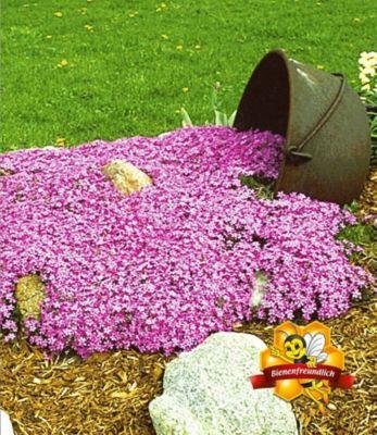 Teppichphlox 'Emerald Pink',winterharter Bodendecker 3 Pflanzen