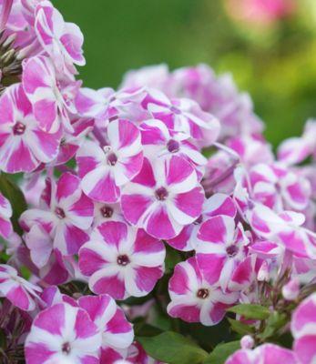 Phlox Bambini® ´´Candy Crush´´,2 Pflanzen