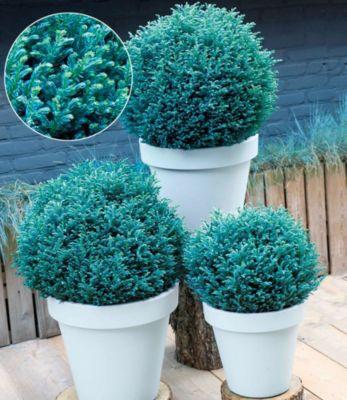 Scheinzypresse Blue Moon®,1 Pflanze