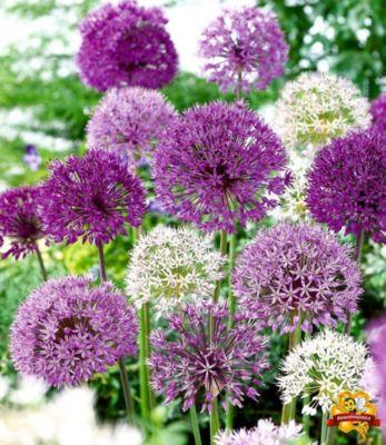 Zierlauch Allium-Mix ´Big Head´, 12...