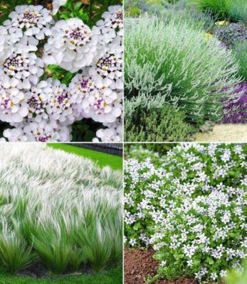 Winterhartes Staudenbeet ´´Eleganz in Weiß´´,12 Pflanzen