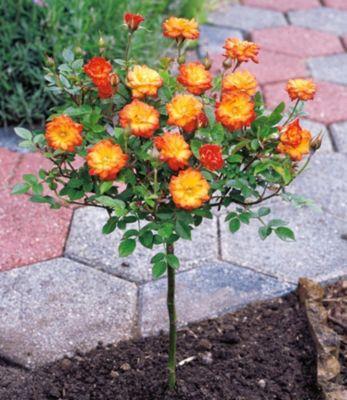 Mini-Stammrose Orange,1 Pflanze