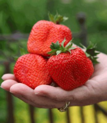 erdbeere-sweet-mary-xxl-3-pflanzen-fragaria