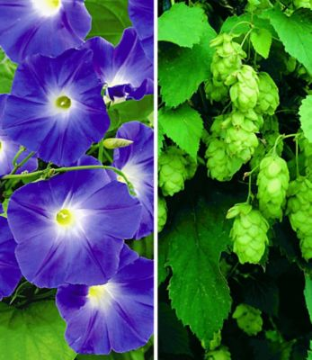 winterharte-kletterpflanzen-kollektion-2-pflanzen-trichterwinde-und-pfeifenwinde