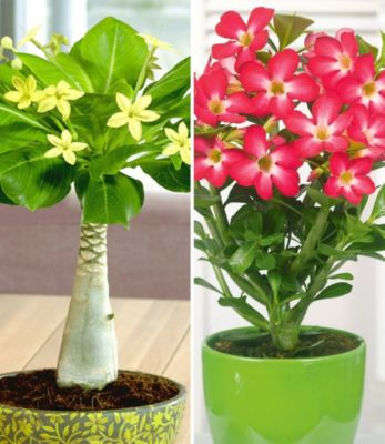 zimmerpflanzen-kollektion-2-pflanzen-hawaii-palme-wustenrose-rot