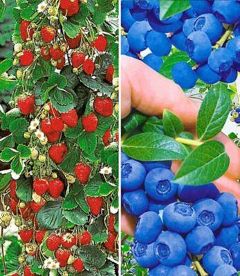 Baldur Garten Beeren-Kollektion,4 Pflanzen