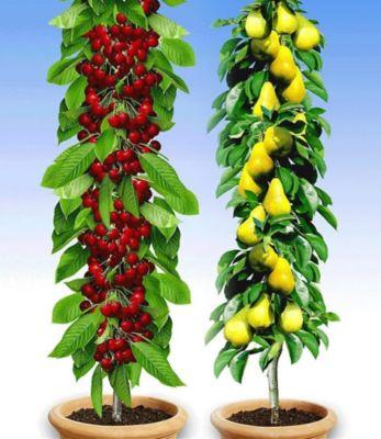 saulenobst-duo-birne-kirsche-2-pflanzen